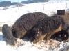 Robuste Mangalitza-Wollschweine